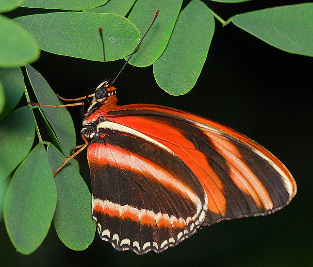 Orange Tiger (aka Banded Orange or Banded Orange Heliconian)