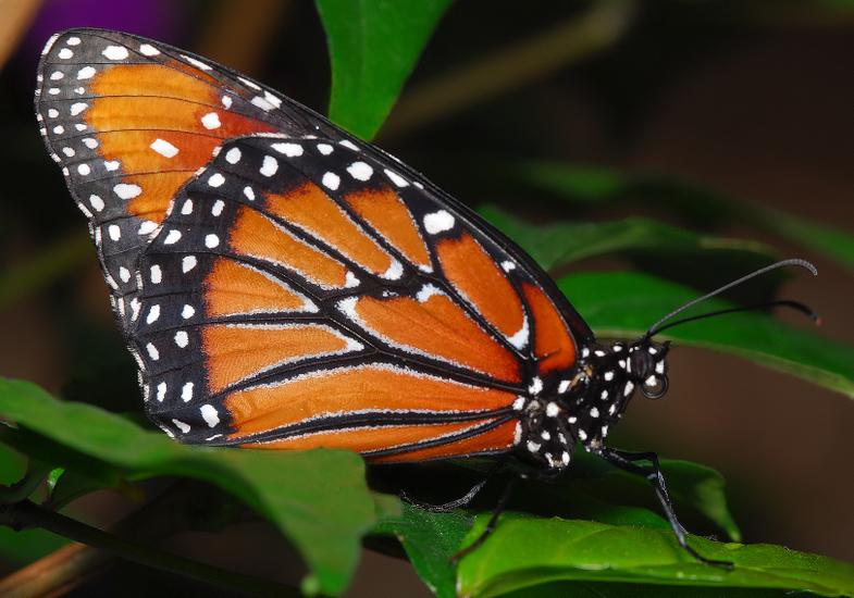 Queen (or Queen Butterfly)