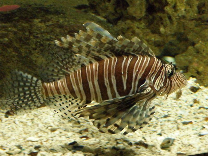Firefish 2.jpg