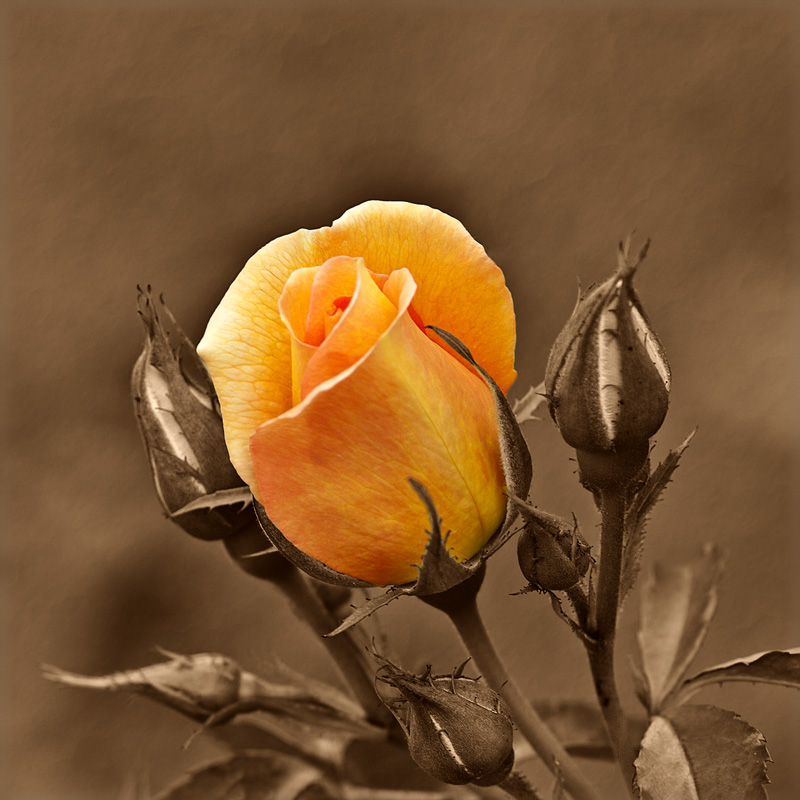 Yellow rose by Dennis