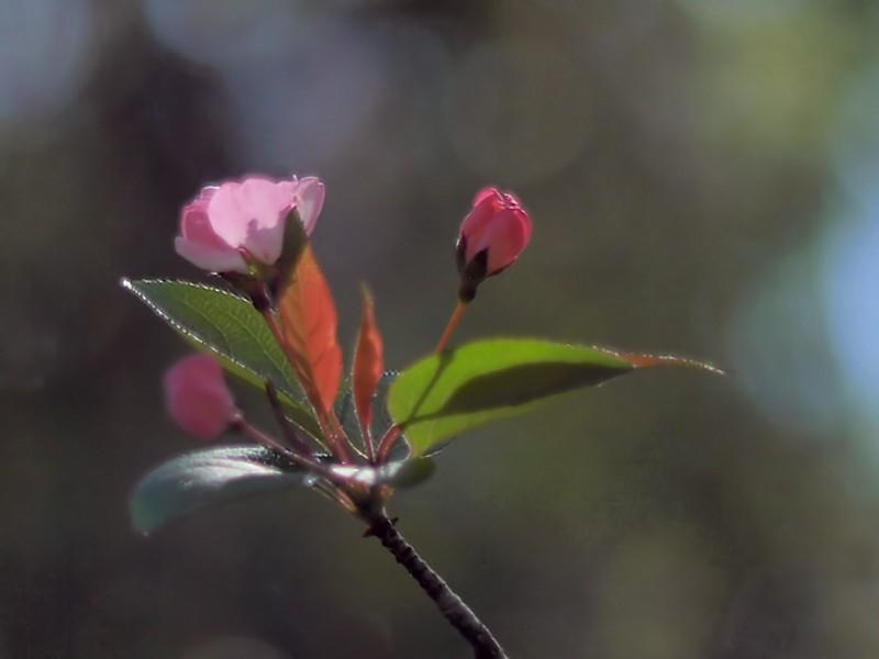 Apple blossoms -ArtP