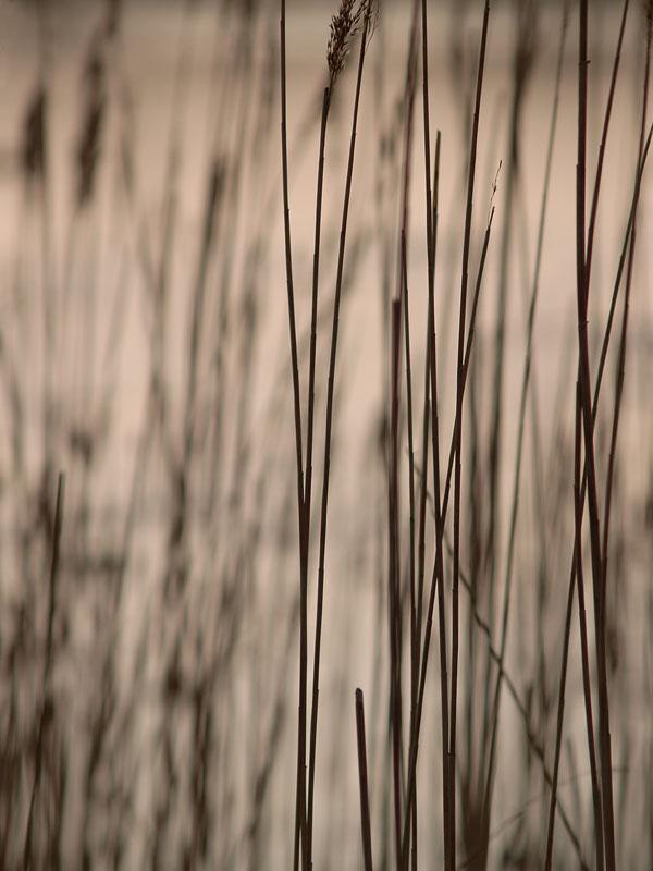 Reeds 2 by Bruce Clarke