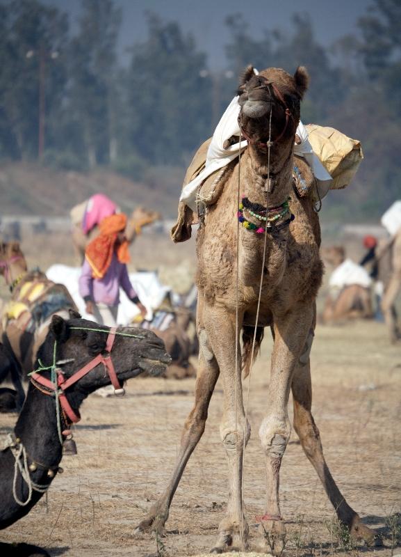 Gujjars Camels
