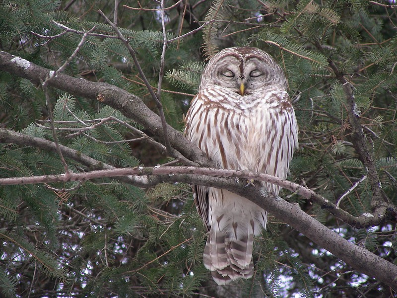 Chouette rayée (Barred Owl)