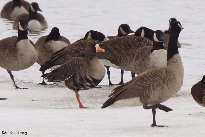 Oie rieuse (Greater White-fronted Goose)