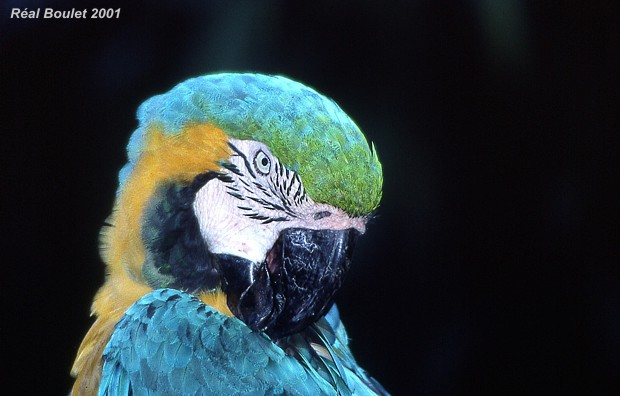 Ara bleu (Blue and Yellow Macaw)
