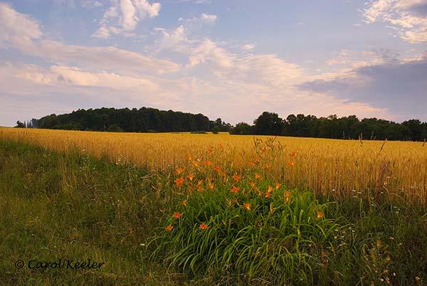 Daylilies and Wheat