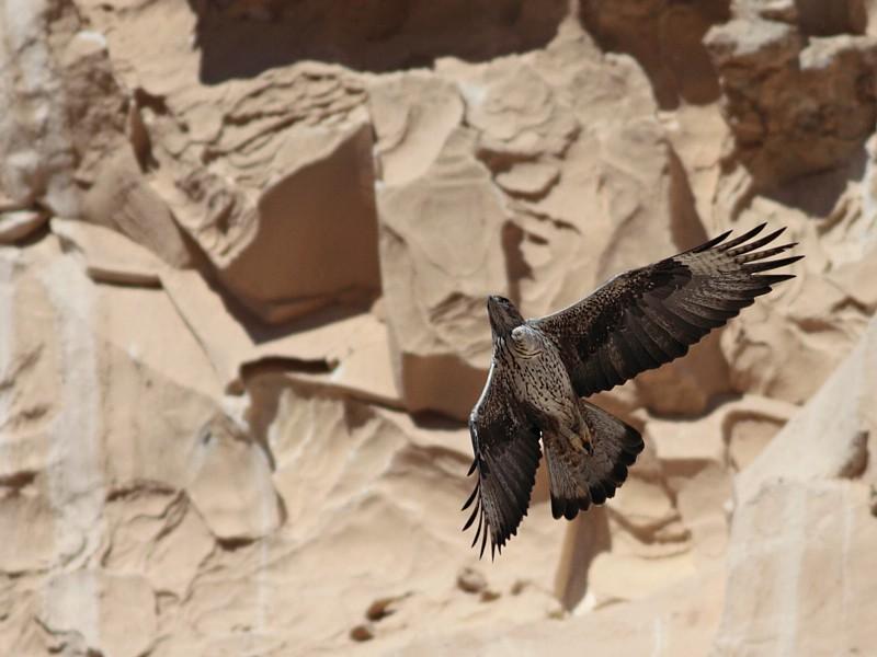 Havikarend / Bonellis Eagle