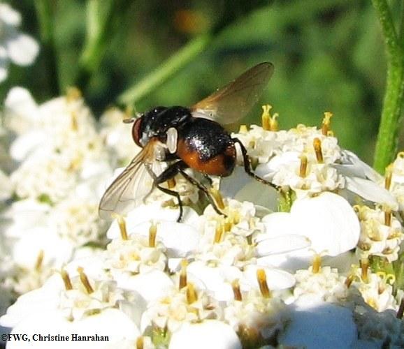 Parasitic fly (<em>Gymnosoma</em> sp. ) on yarrow