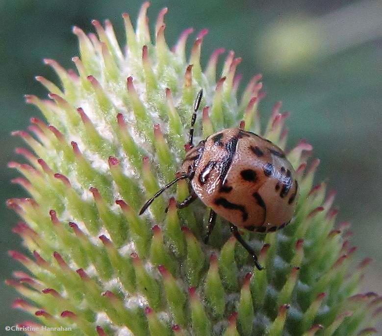 Two-spotted stinkbug (<em>Cosmopepla bimaculata</em>) nymph, on Thimbleweed