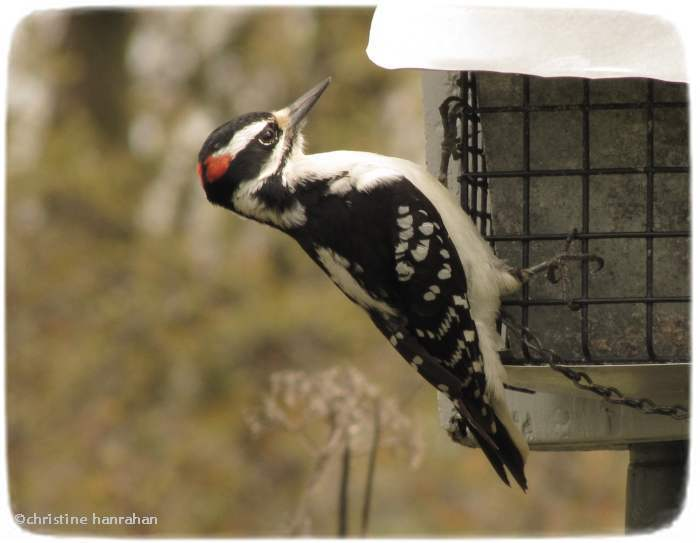 Hairy woodpecker, male