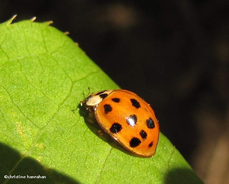 Asian ladybeetle (<em>Harmonia  axyridis</em>)