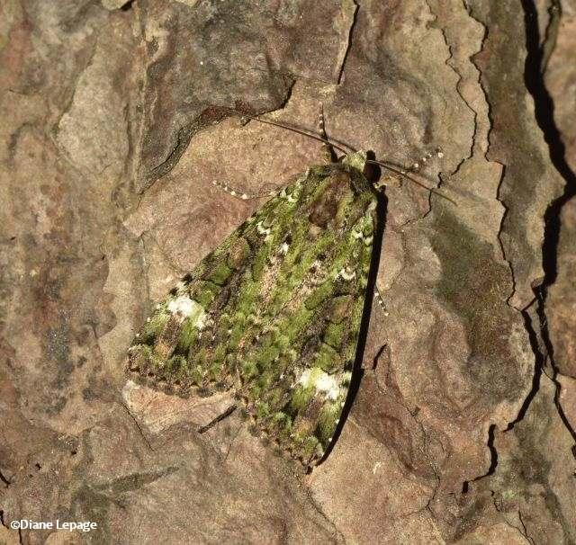 Green Arches Moth (<em>Anaplectoides prasina</em>)