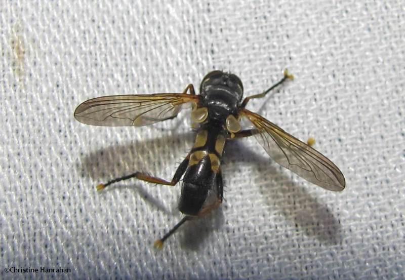 Tachinid fly (<em>Hemyda aurata</em>)