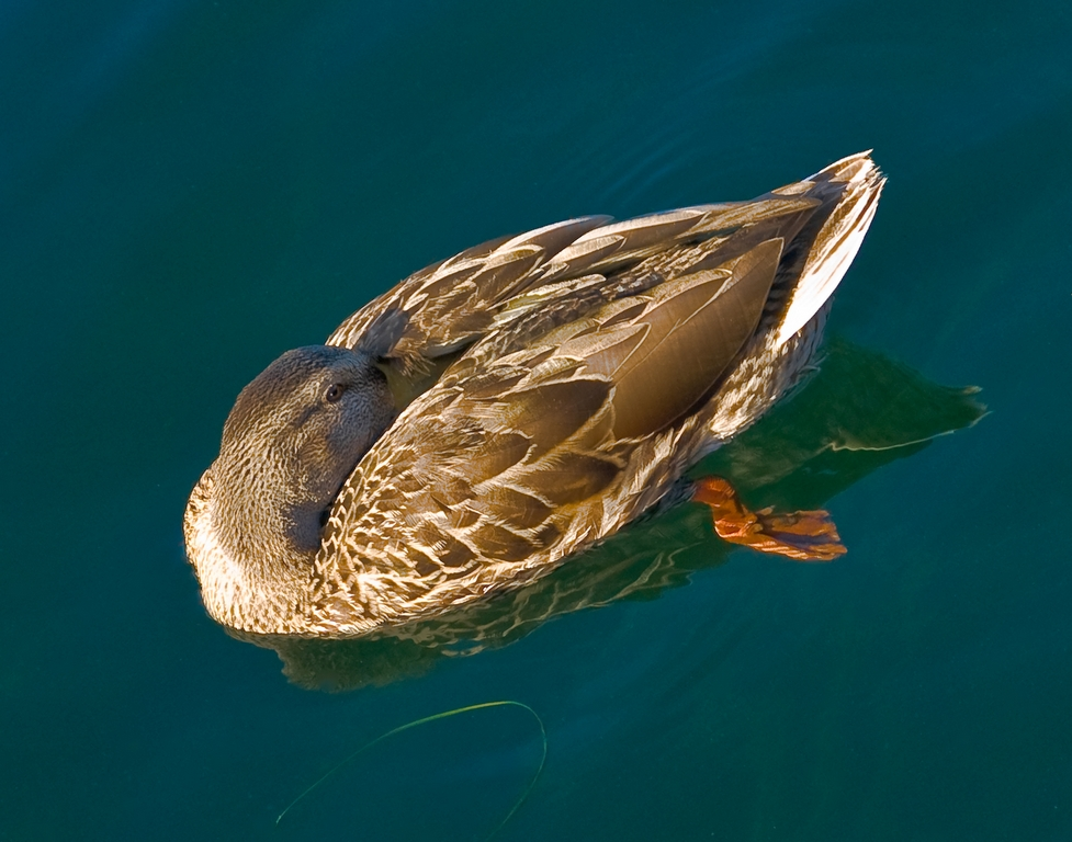 The Duck I