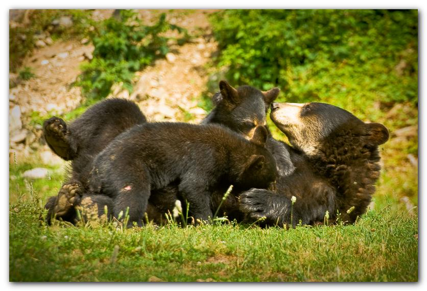 Bear Nursing Cubs