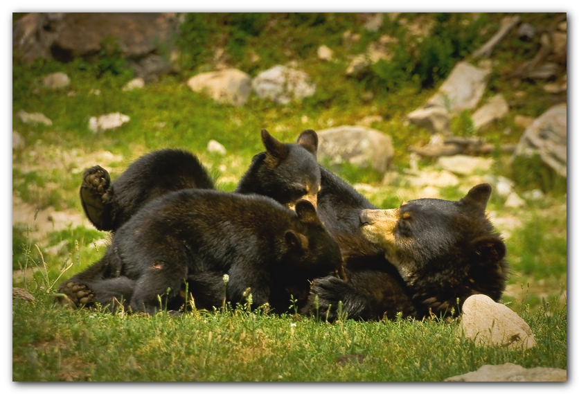Bear Nursing Cubs II