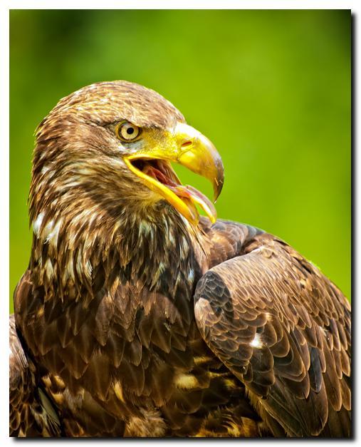 Juvenile Bald Eagle III