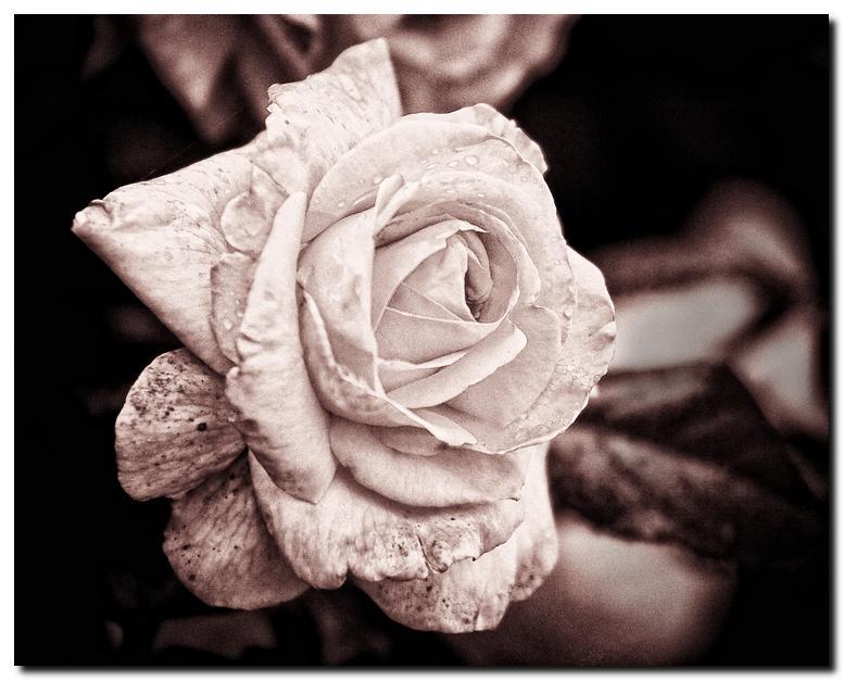 Wet Rose In B&W