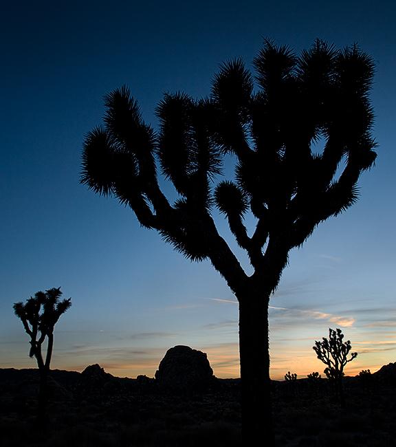 Joshua Trees  & twilight