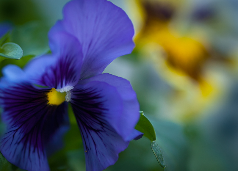Blue ruffled Pansy