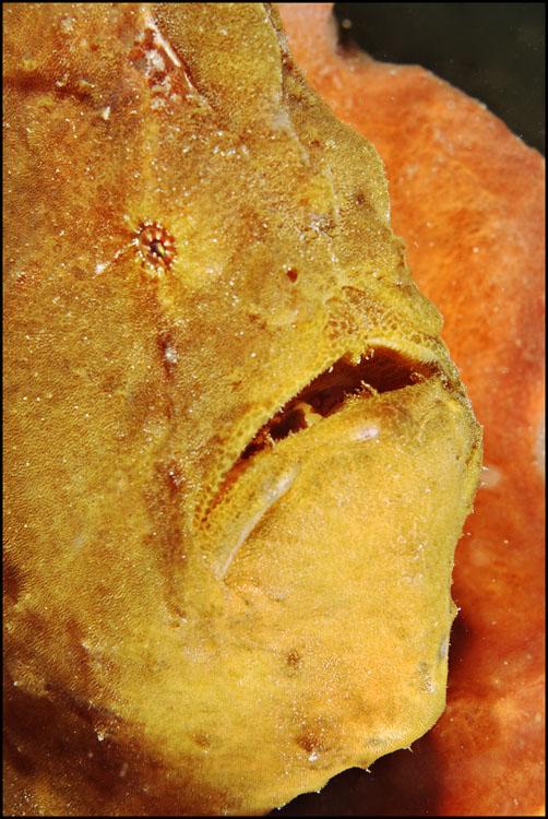 Big daddy yellow frogfish