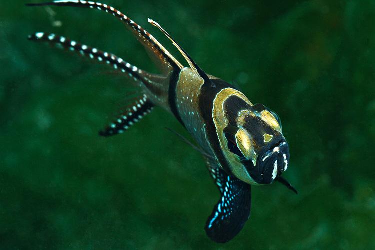 Secret bay Banggai cardinalfish