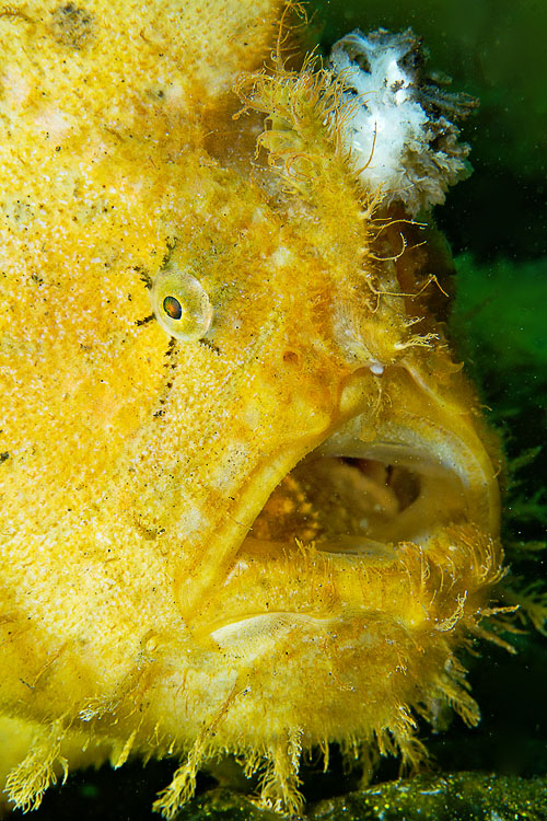 Hispid frogfish yawn