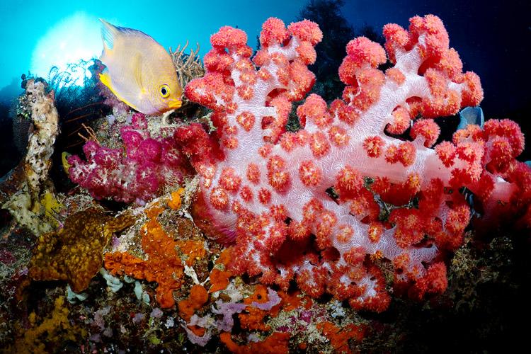 Menjangan soft corals