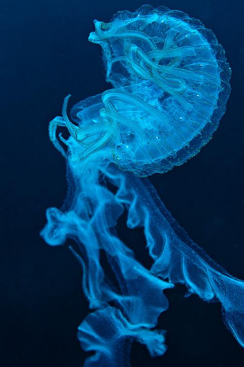 Jellyfish in Tulamben