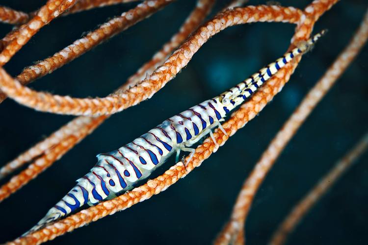 Tozeuma armatum shrimp