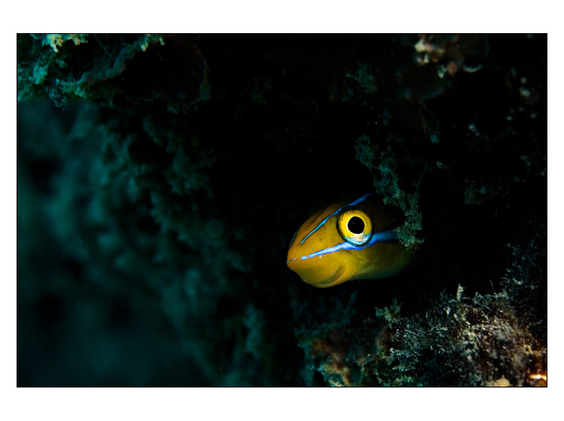 A smiling Tubeworm Blenny in Pemba