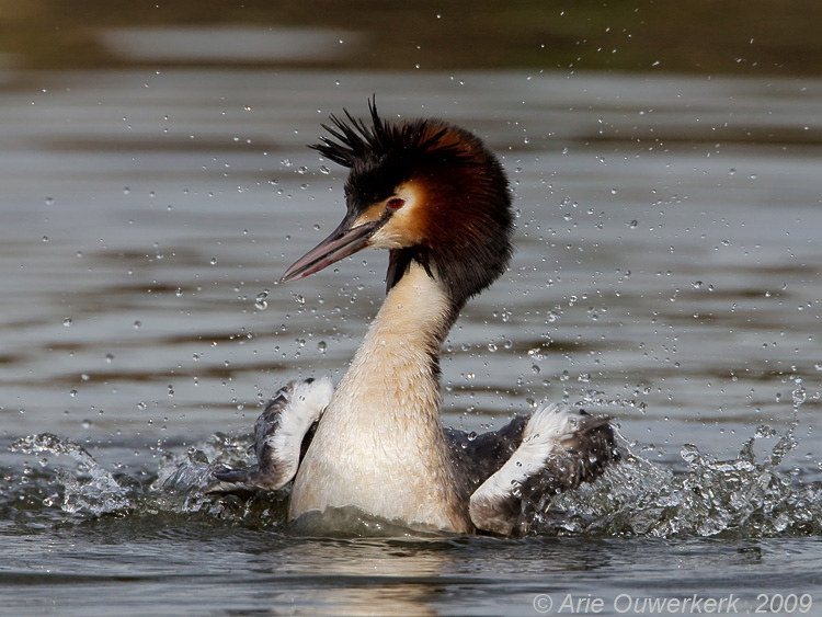 Great Crested Grebe - Fuut - Podiceps cristatus