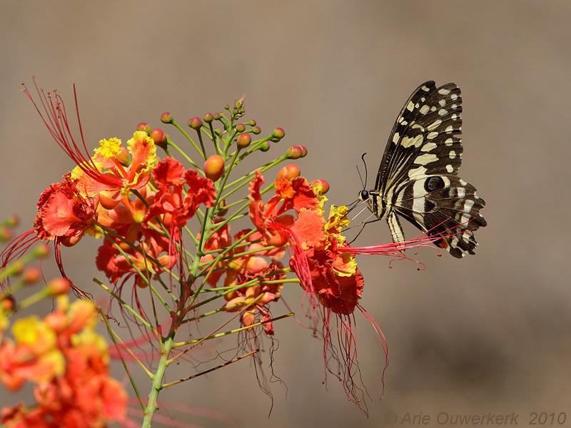 Citrus Swallowtail -Papilio demodocus