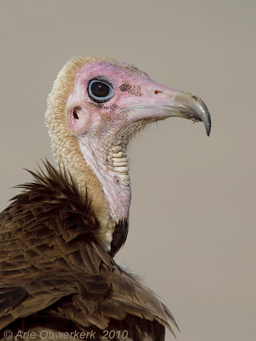 Hooded Vulture - Kapgier - Necrosyrtes monochus