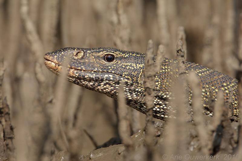 Nile Monitor - Nijlvaraan - Varanus niloticus