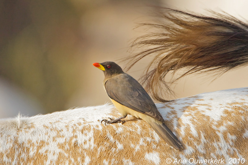Yellow-billed Oxpecker -Geelsnavel-ossepikker - Buphagus africanus
