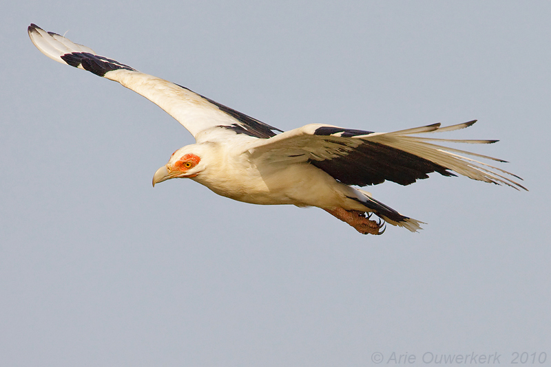 Palm-nut Vulture - Palmgier - Gypohierax angolensis