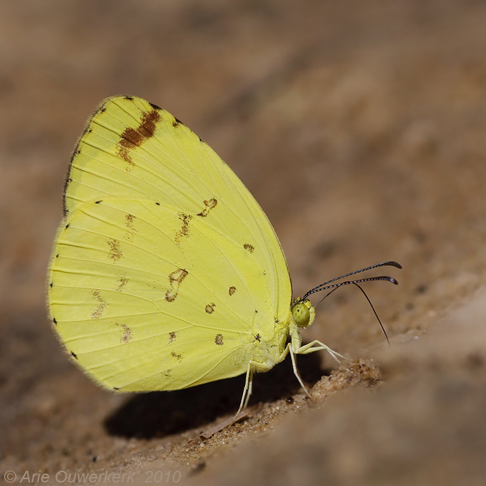 Common Grass Yellow - Eurema hecabe solifera