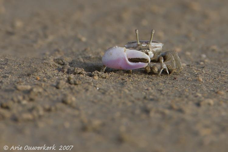 Fiddler Crab - Wenkkrab - Uca sp.