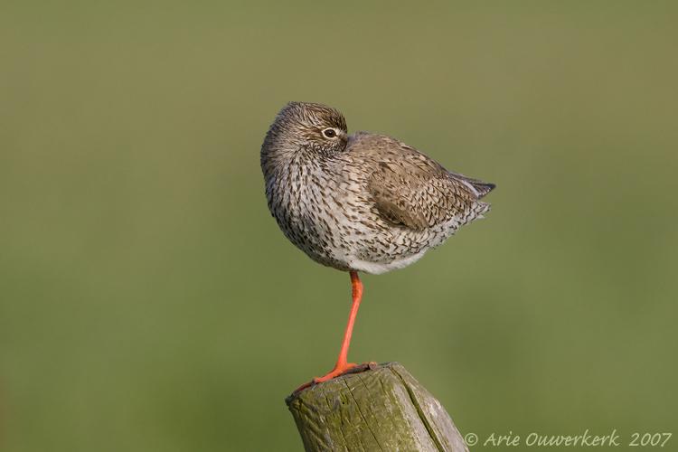 Common Redshank - Tureluur - Tringa totanus