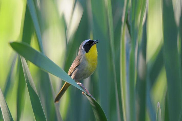 Common Yellowthroat  0711-9j  Glenwood, WA