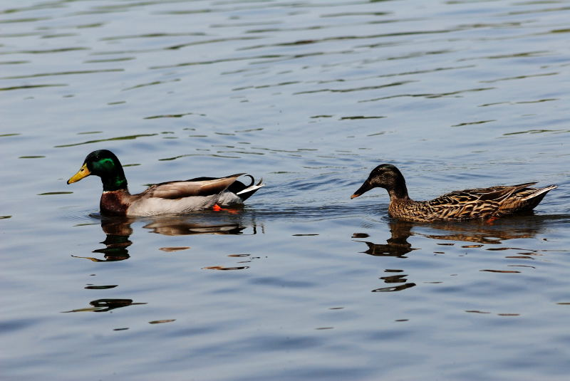Duck, Lake Gladewater, 3-21-2009 (#3)