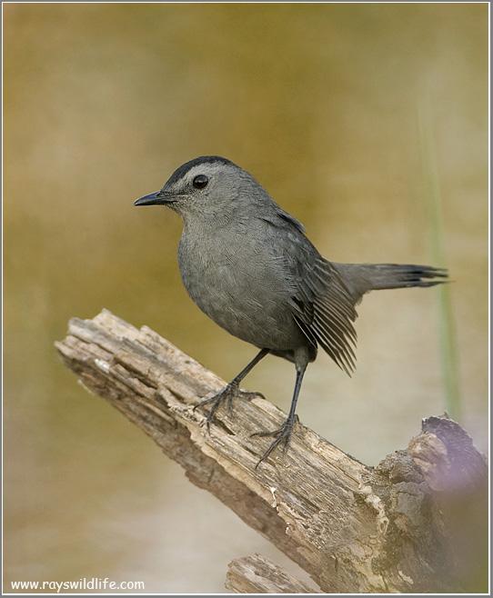 Grey Catbird 9