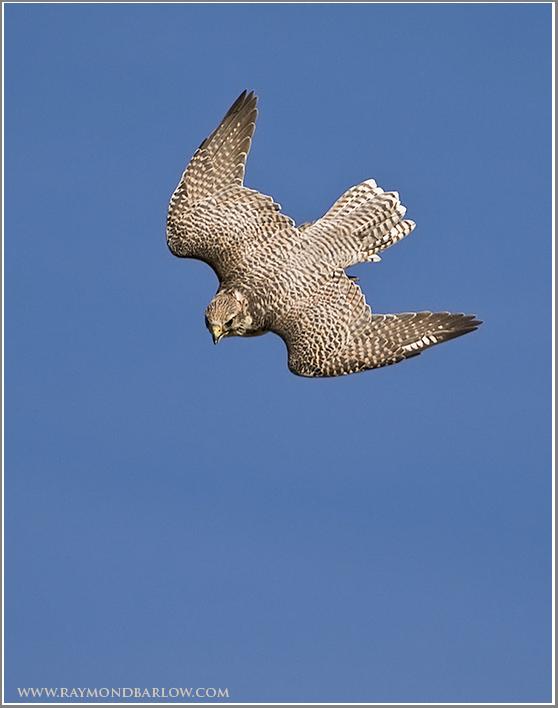 Gyr Falcon   (captive)