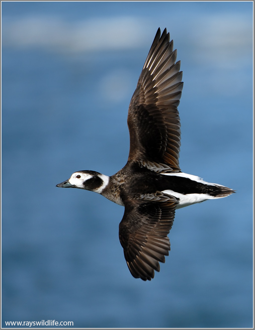 Female Long-tailed Duck  13