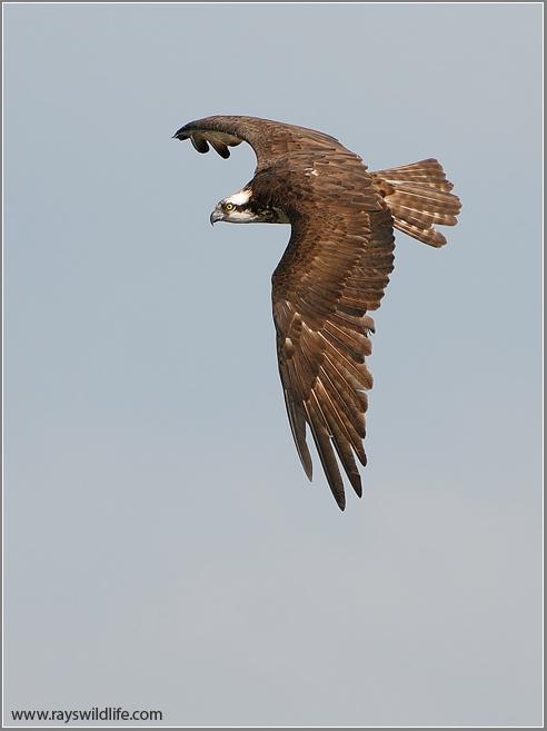 Osprey 36