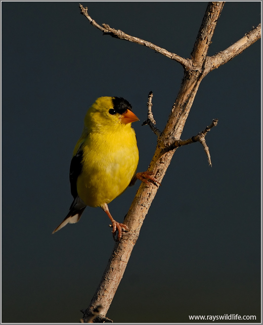 American Goldfinch 11