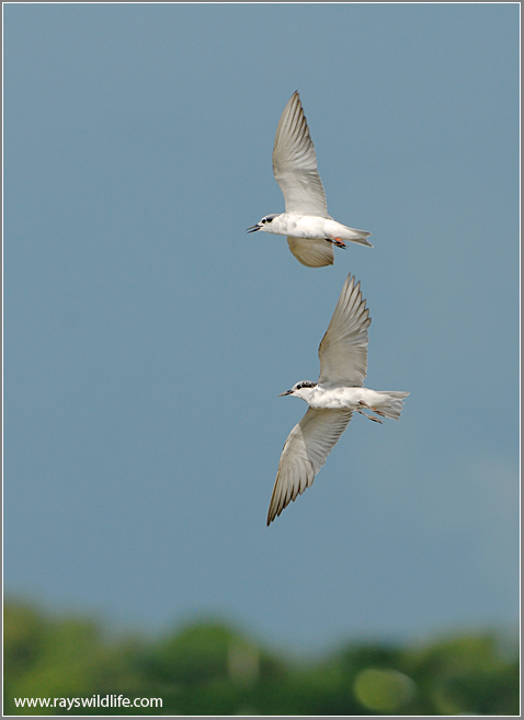 Whiskered Terns 1