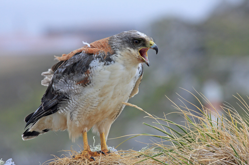 Red-backed Hawk, female